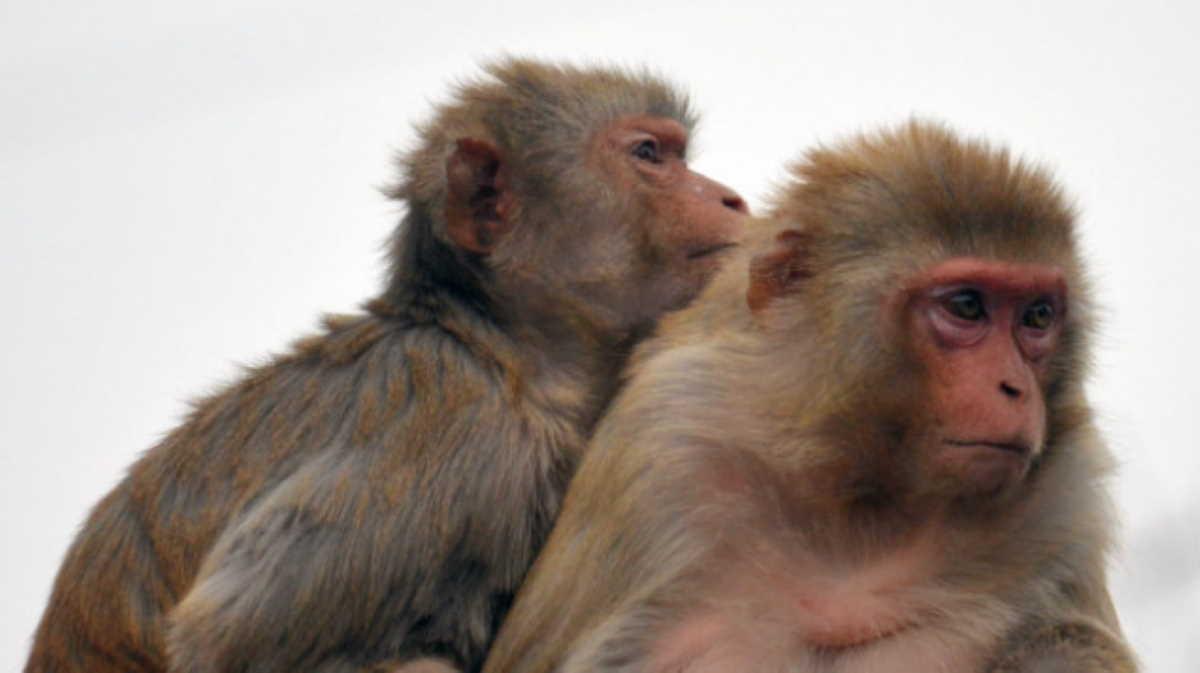 Monkey herpes B