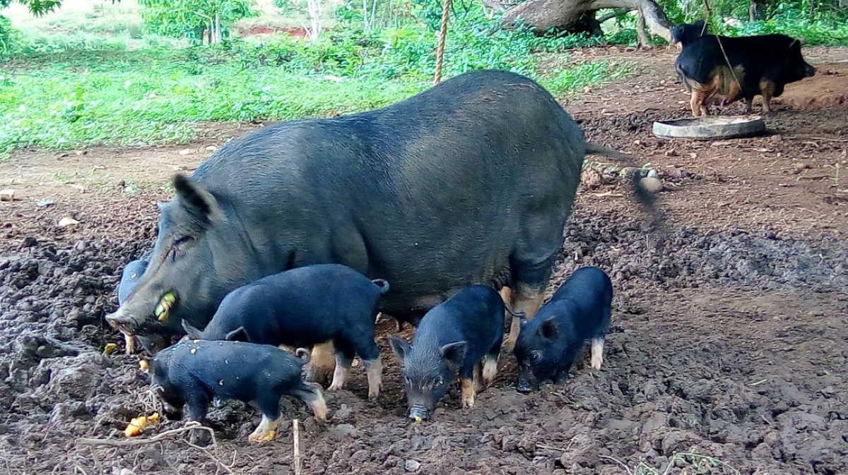 Philippine pig