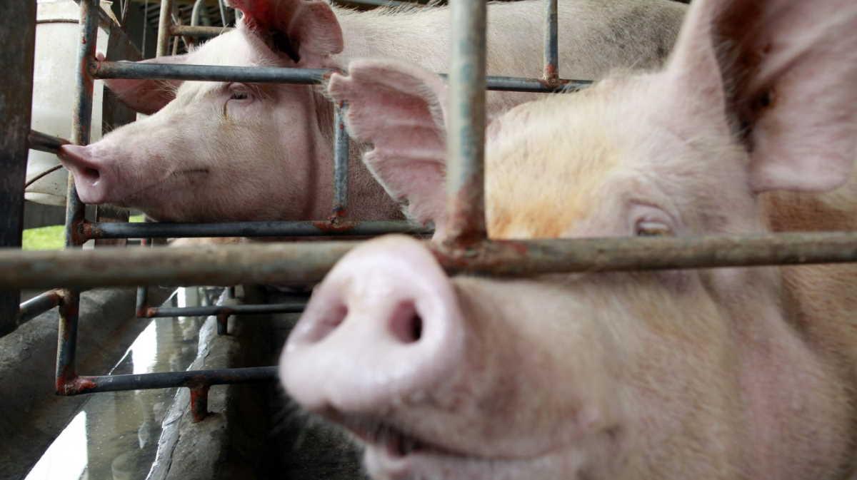 Philippines swine fever