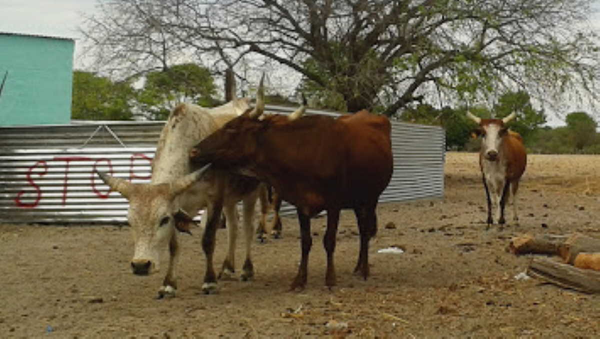 Namibia cattle
