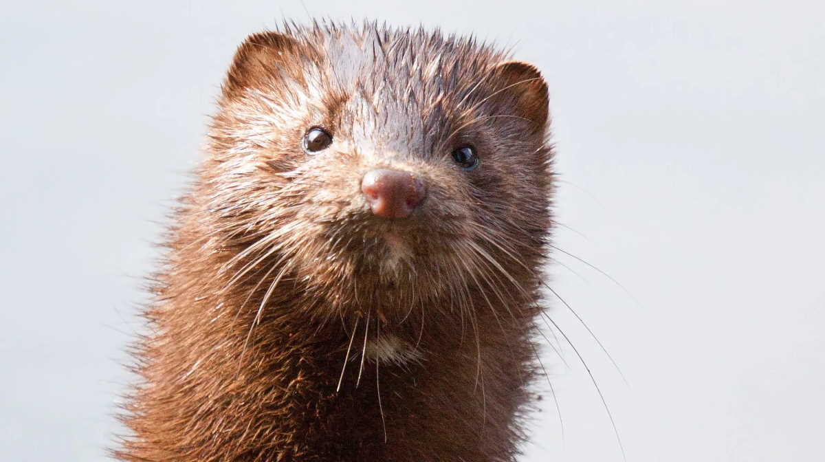 Wisconsin mink