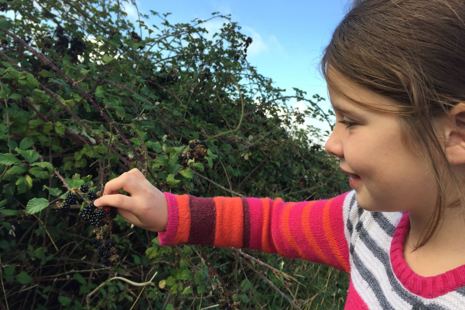 Picking blackberries.