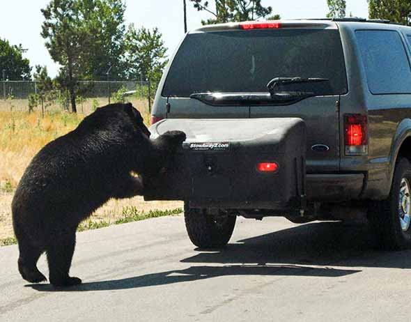 Bear trying to get into StowAway Standard Hitch Cargo Box