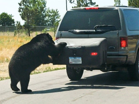 Ford Expedition Bear Attack on StowAway Hitch Cargo Carrier