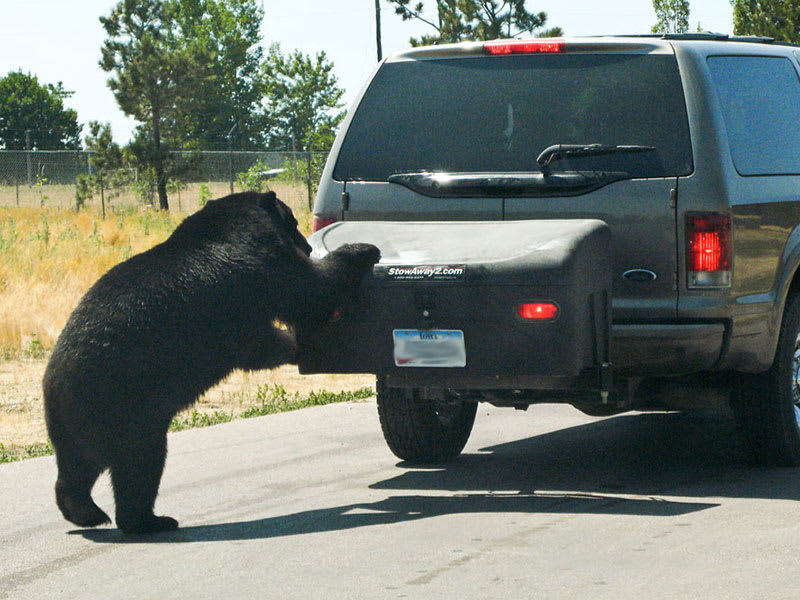 Bear trying (unsuccessfully) to get into a StowAway Standard Cargo Carrier on Ford Excursion