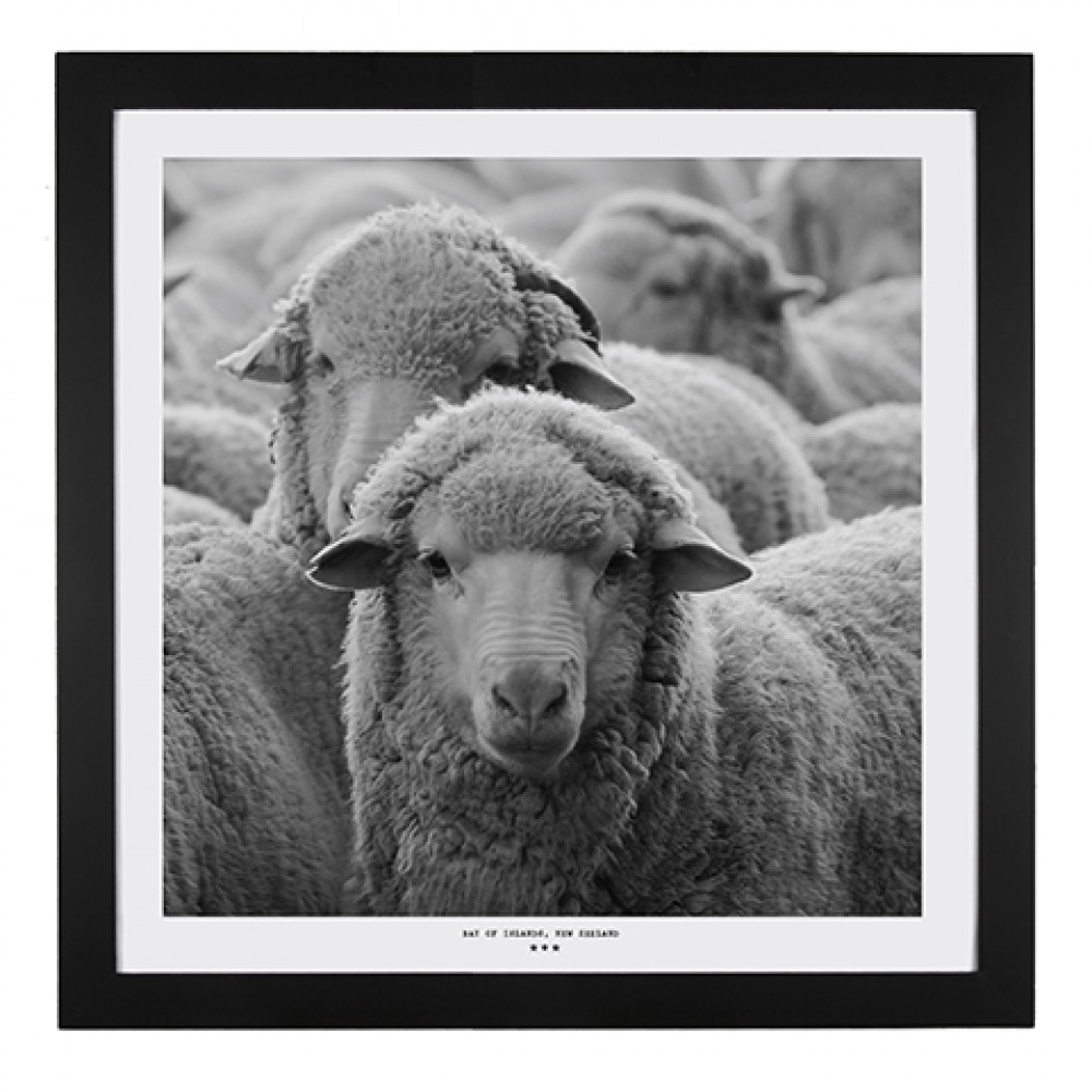 Black white new zealand sheep framed print