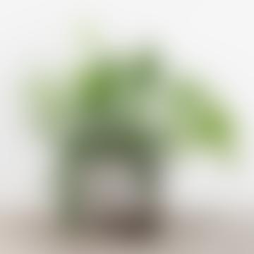 Hanging Epiphyllum House Plant