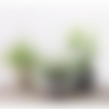 3 Mixed Indoor Fern House Plants