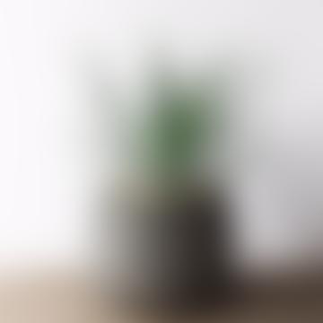 Large Aloe Arborescens House Plant