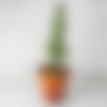 Euphorbia Eritrea House Plant