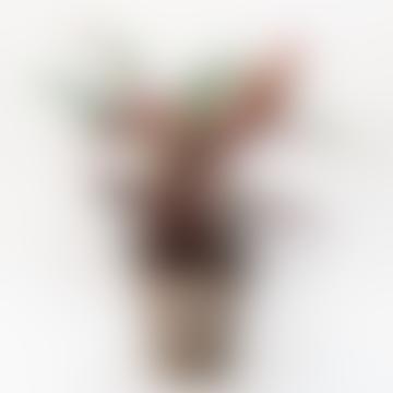 Stromanthe House Plant