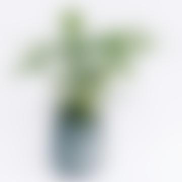 Calathea Leopardina House Plant