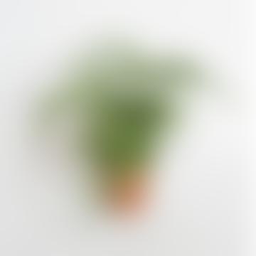 Asparagus Setaceus Asparagus Fern Plant