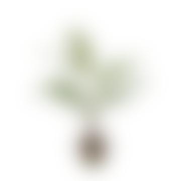Chamaedorea Plant In Terracotta Pot