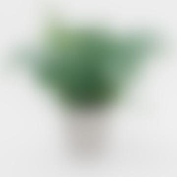 Phlebodium Fern House Plant