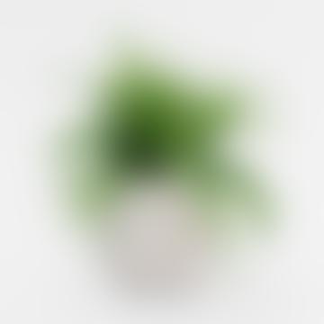 Forest Chlorophytum Comosum Ocean House Plant