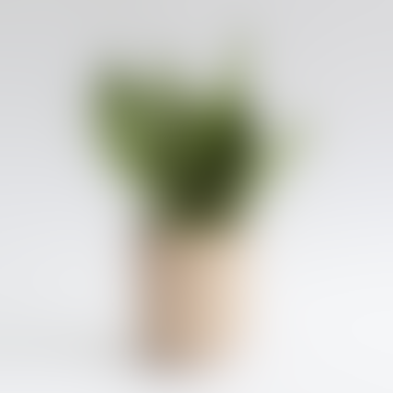 Sansevieria Moonshine House Plant