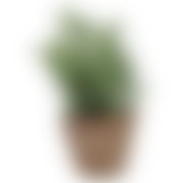 Fallen Fruits 18 x 10cm Thyme In Aged Terracotta Pot