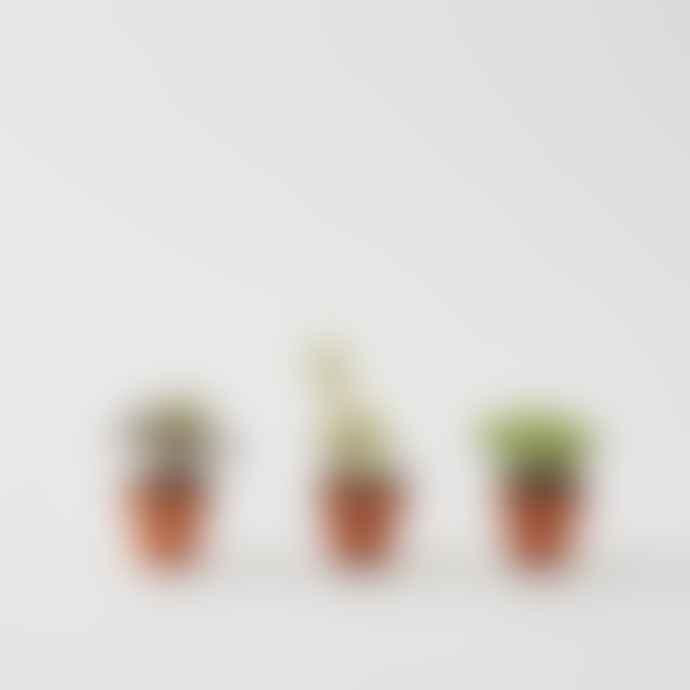 Botanique Workshop Set Of 3 Mini Succulents