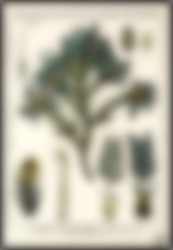 Cuemars Tragacanth Tree Vintage Botanical Illustration