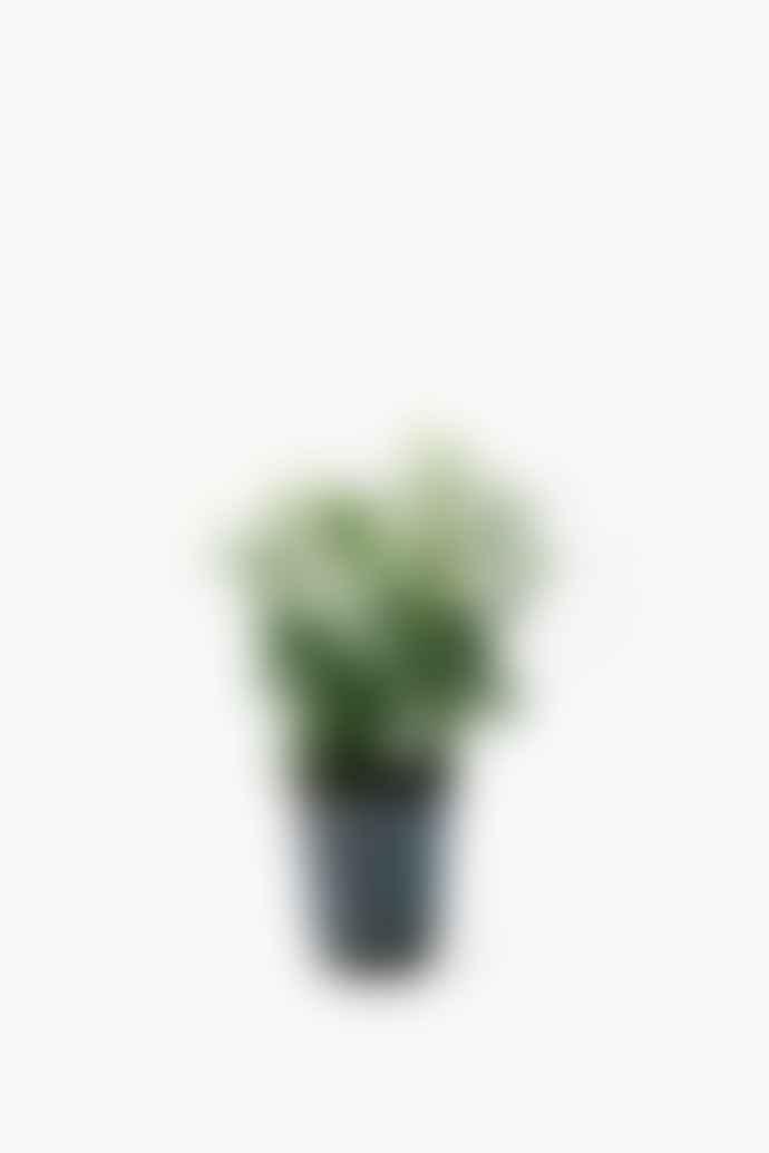 Asparagus Falcatus Fern House Plant