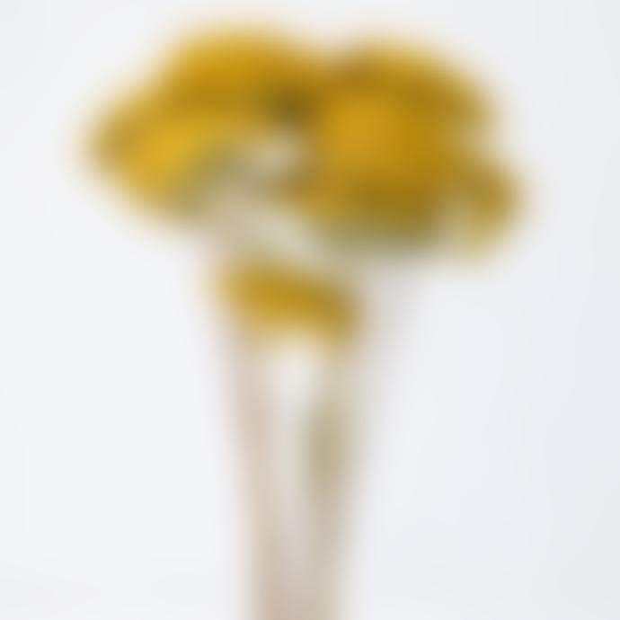 Little Deer Yellow Natural Achillea Yarrow Dried Stems