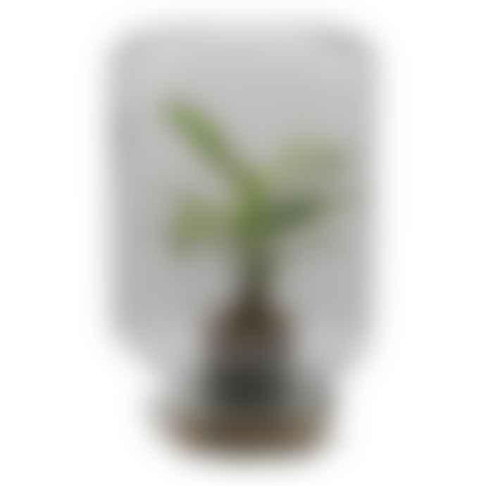 Pikaplant Calathea Terrarium Jar