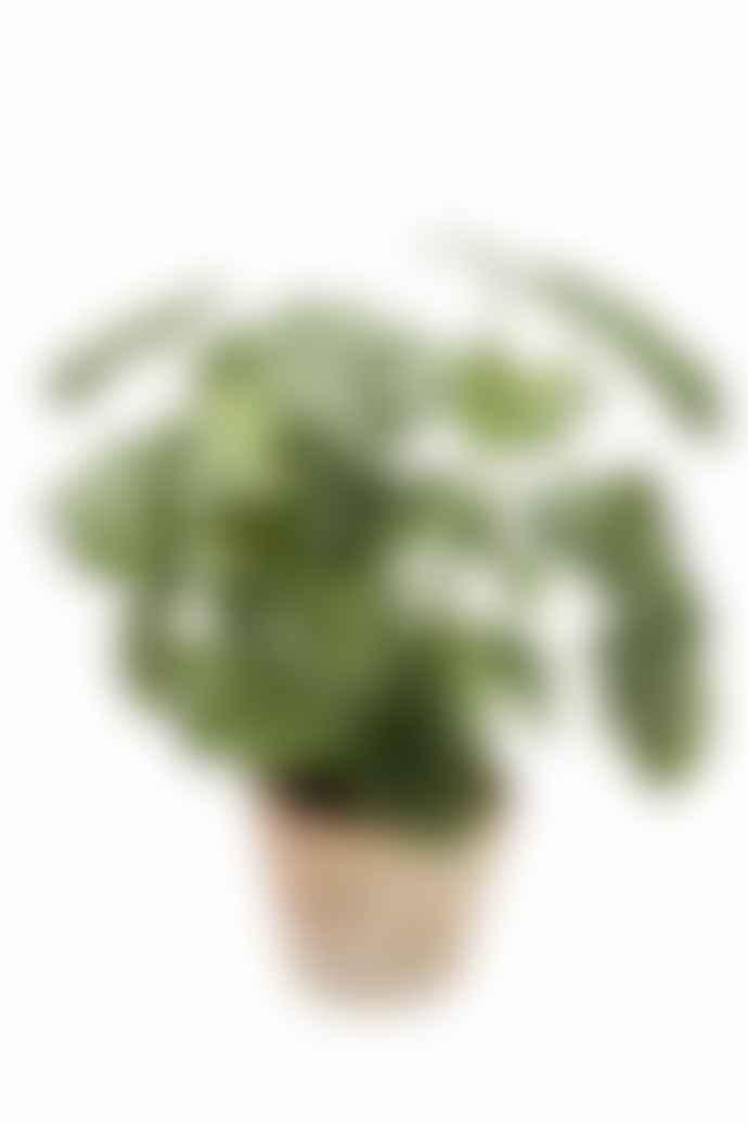 Pad Lifestyle Monstera Bush Terracotta Pot