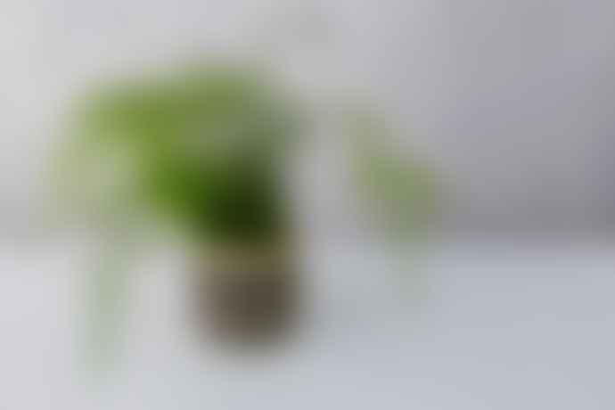 Forest Asparagus Fern House Plant