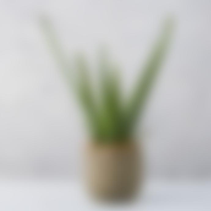 Forest Aloe Vera House Plant