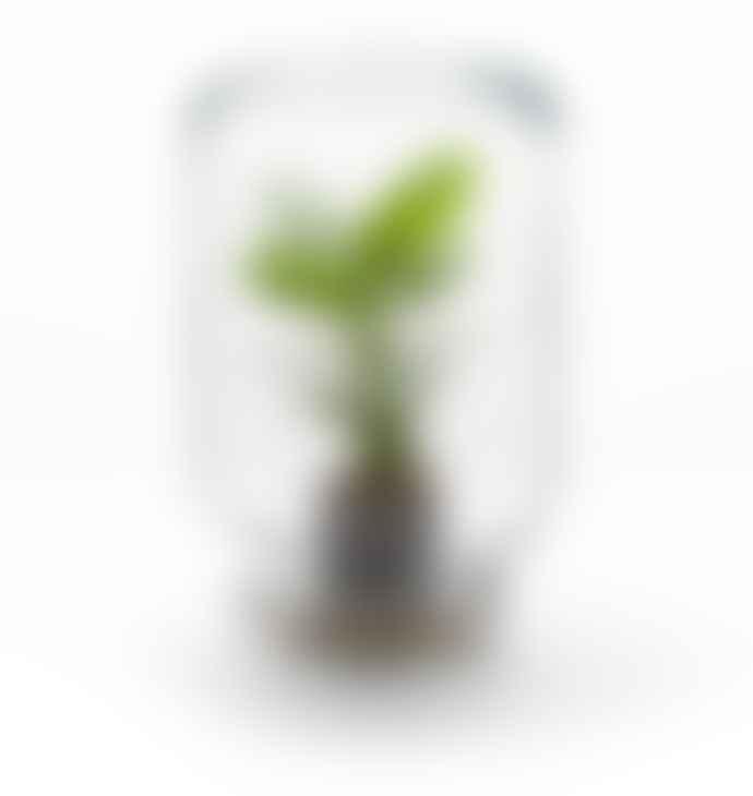 Pikaplant Clusia Jar Terrarium
