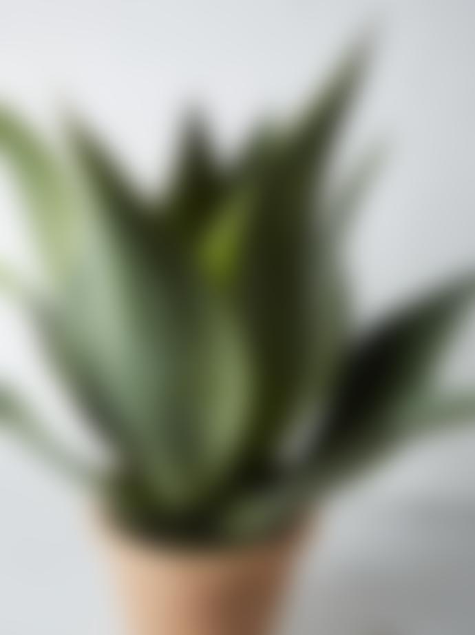 Abigail Ahern Aloe Aristata Faux Succulent