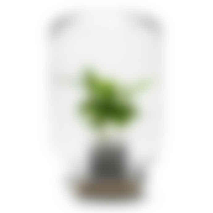 Pikaplant Jar Coffea Arabica Tropical Plant