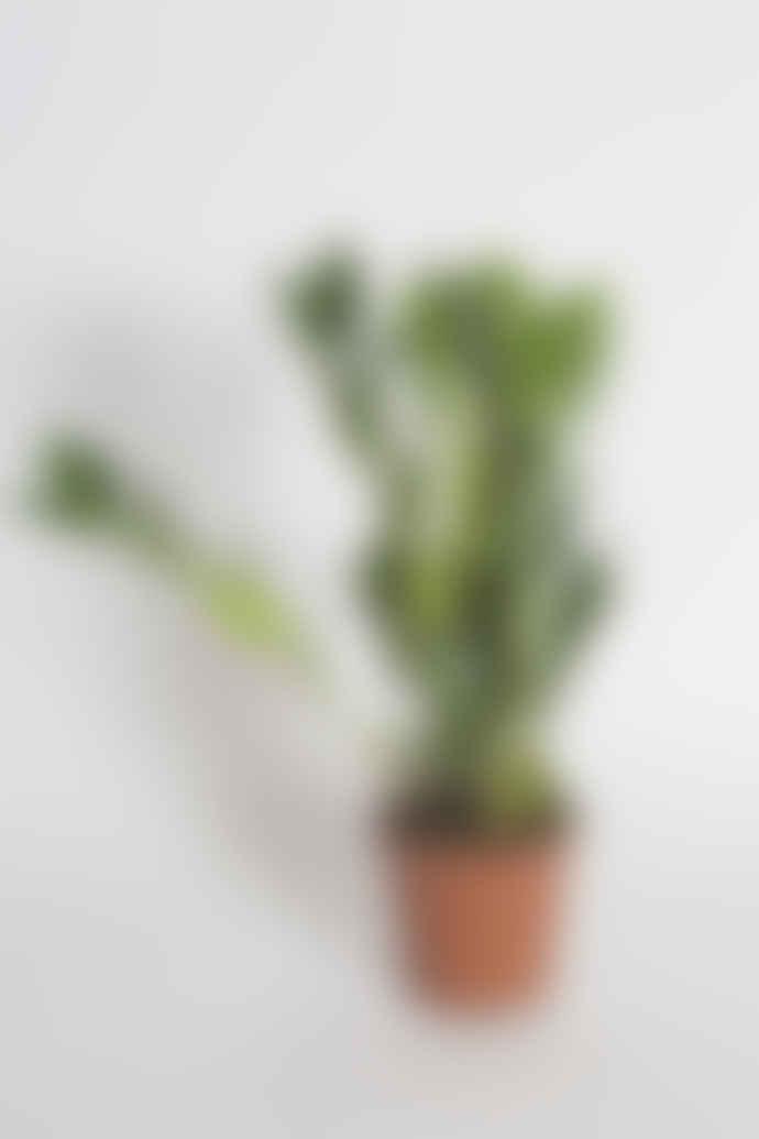 The Mighty Quinns Flower Emporium Zamioculcas Zz Plant
