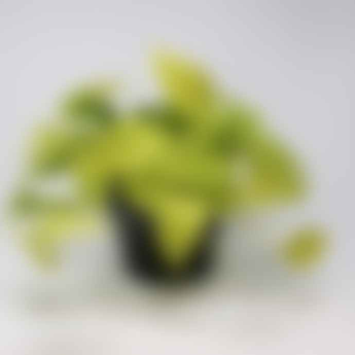 Forest Epipremnum Aureum Neon House Plant