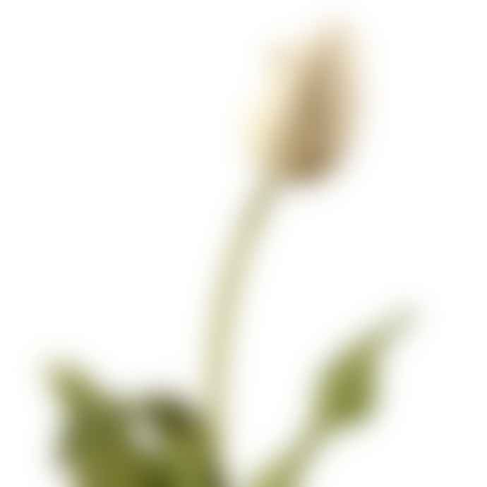 Amaranthine White Tulip Flower