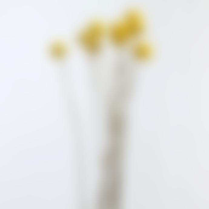 Little Deer Bright Yellow Dried Natural Craspedia