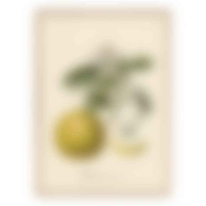 Dybdahl Grapefruit with frame