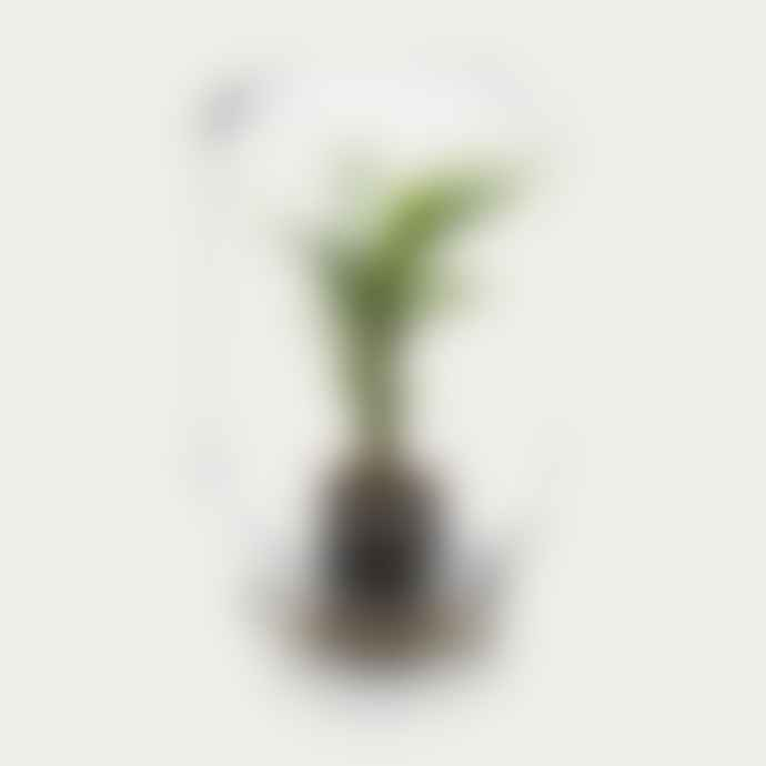 Pikaplant Calathea Concinna Jar Terrarium
