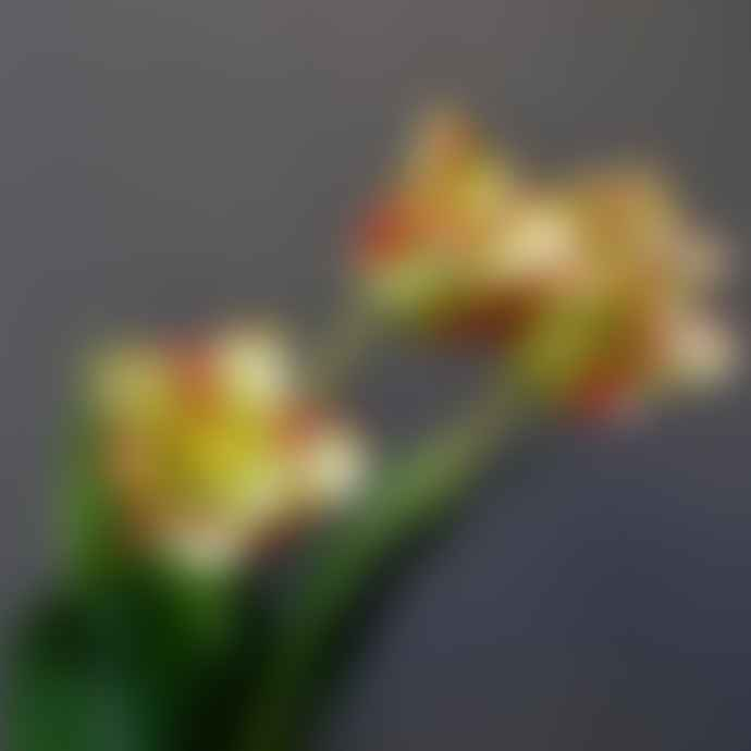 livs 69cm Lime and Coral Parrot Tulip Stem