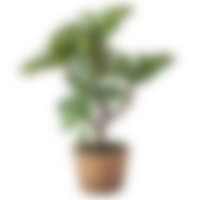 Wyld Home Money Tree Succulent In Pot