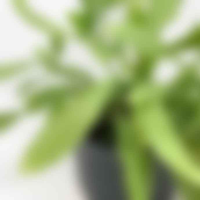 Forest Rhipsalis Ramulosa House Plant