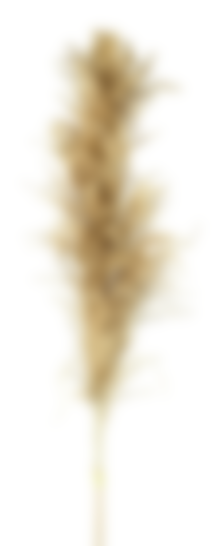 Parlane Set of 3 Pampas Stems