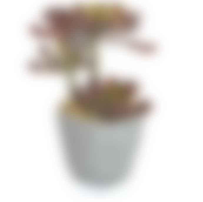 Treelocate Potted Echeveria Plant