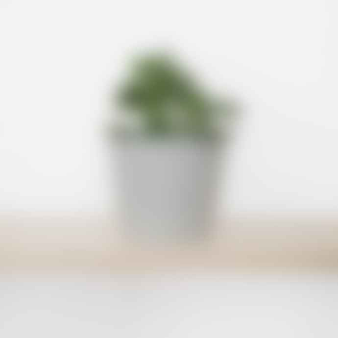 Botanique Workshop Set Of 3 Small Succulents Potted