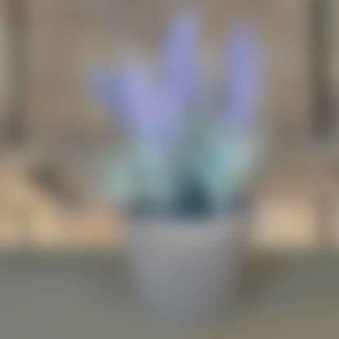 livs Lavender in Aged Terracotta Pot