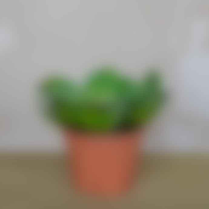 livs Echeveria Faux in Terracotta Pot