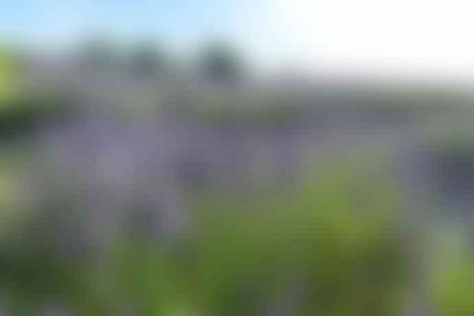 Farmers Welsh Lavender Lip Balm