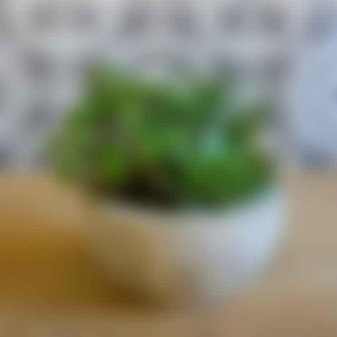 livs Green Succulents in Concrete Bowl Pot