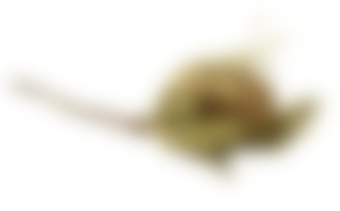 second flor Banksia Hookerana preserved 2-5cm x 8-12cm x h.15-25 cm in beige